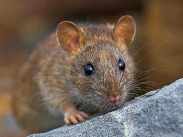 Mơ thấy chuột điềm dữ hay lành, đánh con lô nào chắc ăn?